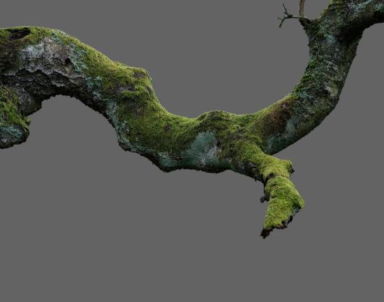 Betula pendula No. 1